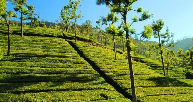 Tea Estate Viewpoint